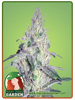 24K Gold Marijuana Seeds