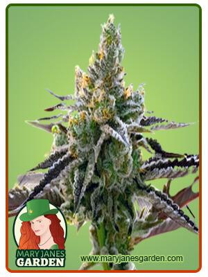 24k Gold Marijuana Seeds 1