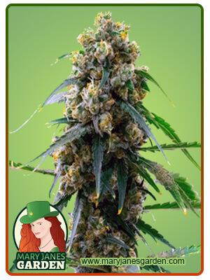3 Kings Marijuana Seeds