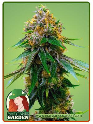 5 Alive Marijuana Seeds