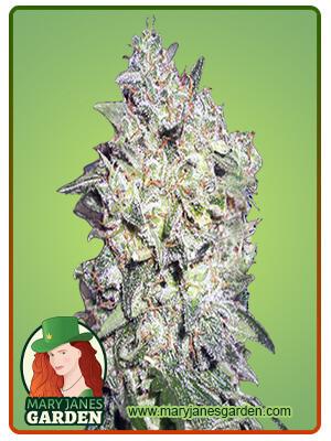 Afghan Kush Marijuana Seeds