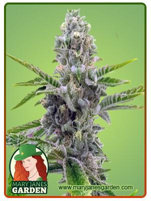 American Haze California Haze Marijuana Seeds