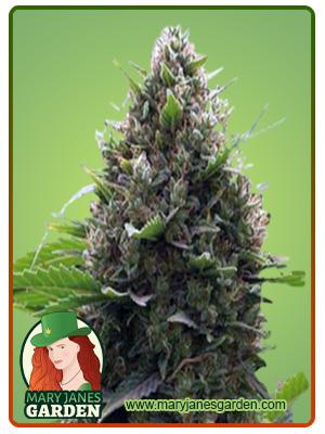 Amnesia Kush Marijuana Seeds