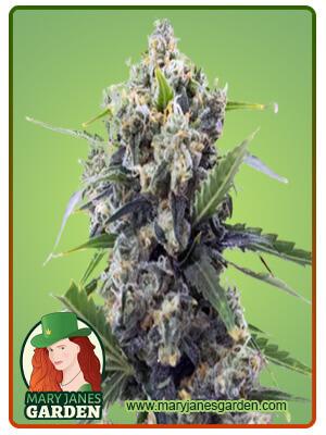 Banana Kush Auto Marijuana Seeds