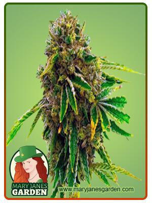 Banana Kush Fem Marijuana Seeds
