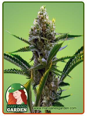 Black Domina Marijuana Seeds 1