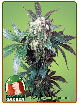 Black Domina Marijuana Seeds