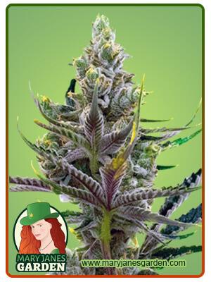 Black Widow Marijuana Seeds