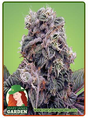 Blackberry Kush Marijuana Seeds