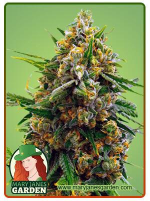 Blue Head Band Marijuana Seeds