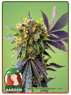 Bubba Kush Marijuana Seeds