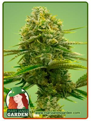 Bubblegum Fem Marijuana Seeds