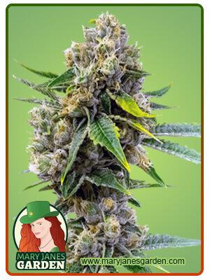 Cheese Diesel Marijuana Seeds