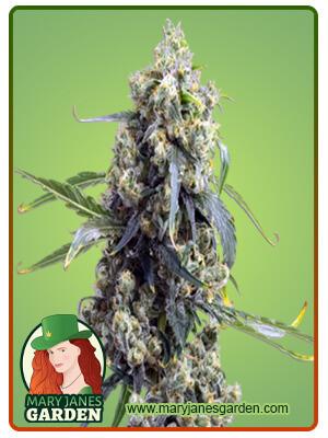 Chemdog 4 Marijuana Seeds
