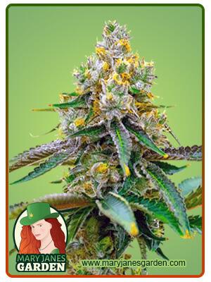 Chemdog#4 Marijuana Seeds