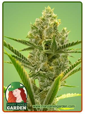 Critical 2 0 Marijuana Seeds