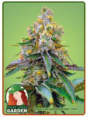 Critical 47 Marijuana Seeds