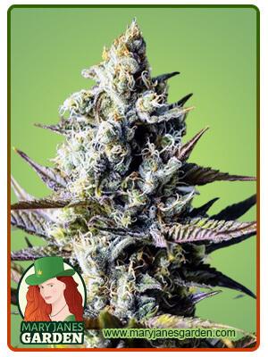 Critical Kush Marijuana Seeds