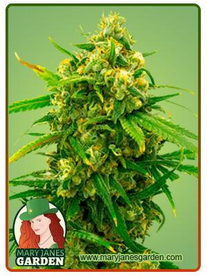 Critical Marijuana Seeds 1