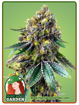 Critical + Marijuana Seeds