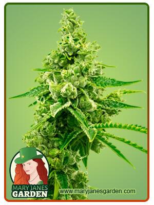 Critical Mass Autoflower Marijuana Seeds