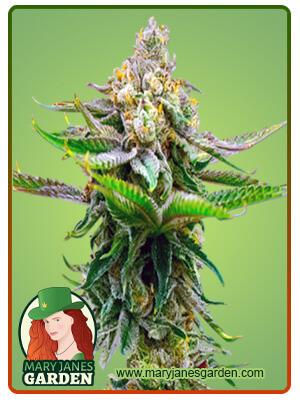 Devil XXL Marijuana Seeds
