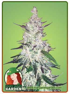 Diesel Marijuana Seeds