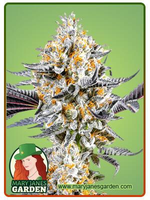 Do si Dos Marijuana Seeds