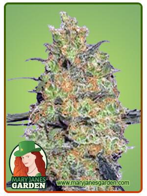 Fire OG Marijuana Seeds