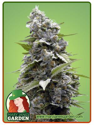 Girl Scout Cookies Fem Marijuana Seeds