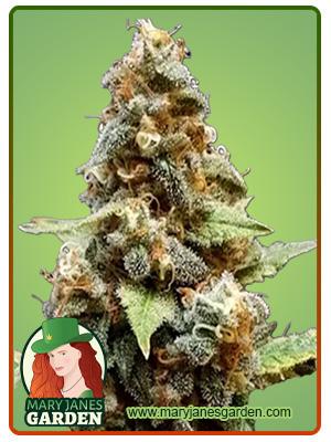 Gorilla Lemon Fire Regular Marijuana Seeds