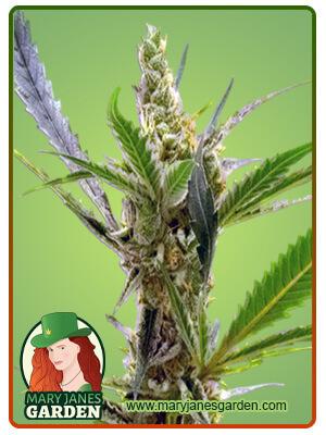 Kush Marijuana Seeds