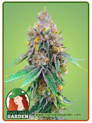 Maxigom Autoflower