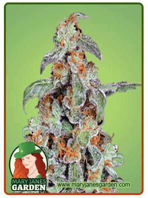 Orange Bud (fem)