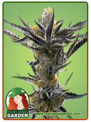 Shiskaberry Kush Feminized Seeds