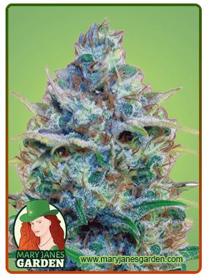 Strawberry Cough fem