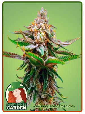 Strawberry fem