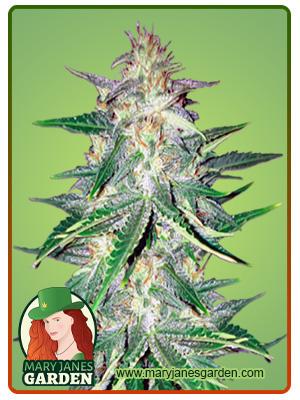 Zkittlez Marijuana Seeds