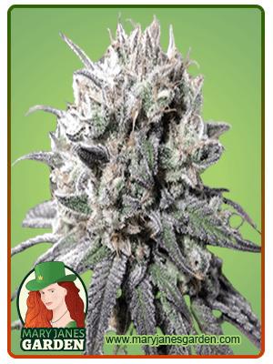Zombie-DF-marijuana-seeds- fem (1)