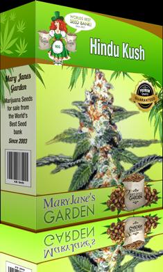 growing marijuana hindu kush