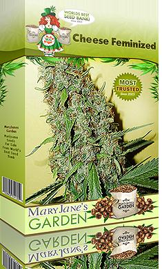 growing-marijuana-cheese-feminized