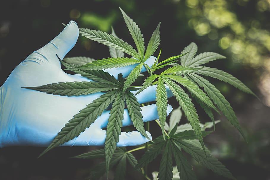 cannabis freshness hand marijuana
