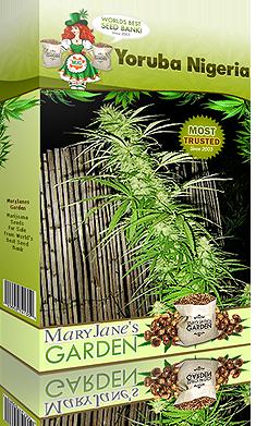 growing marijuana yoruba nigeria