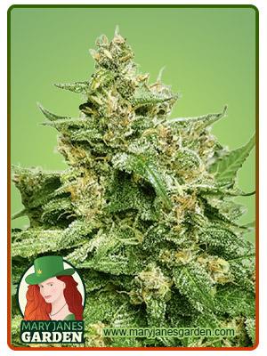 Alien Candy Autoflower Marijuana Seeds