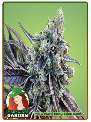 Cookie Dog Autoflower Marijuana Seeds