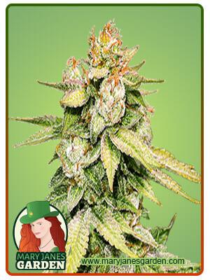 Gorilla Glue 48 Feminized Marijuana Seeds