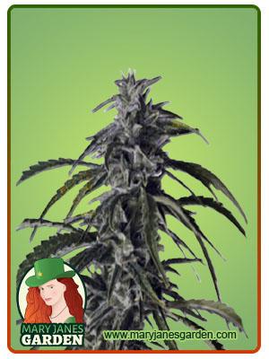 Hippie Crippler Autoflowering