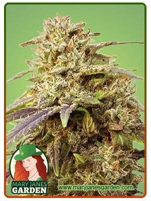 Light Sabre Autoflower Marijuana Seeds