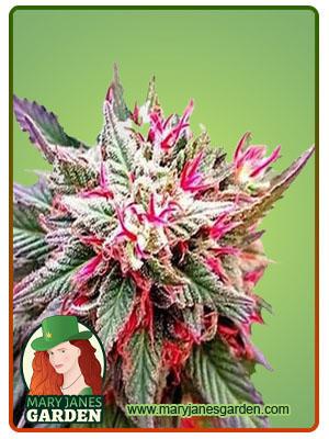 Rose Queen Fem