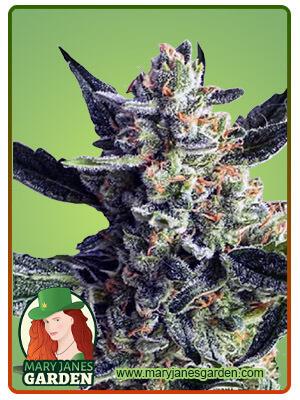 Wedding Crasher Feminized Marijuana Seeds